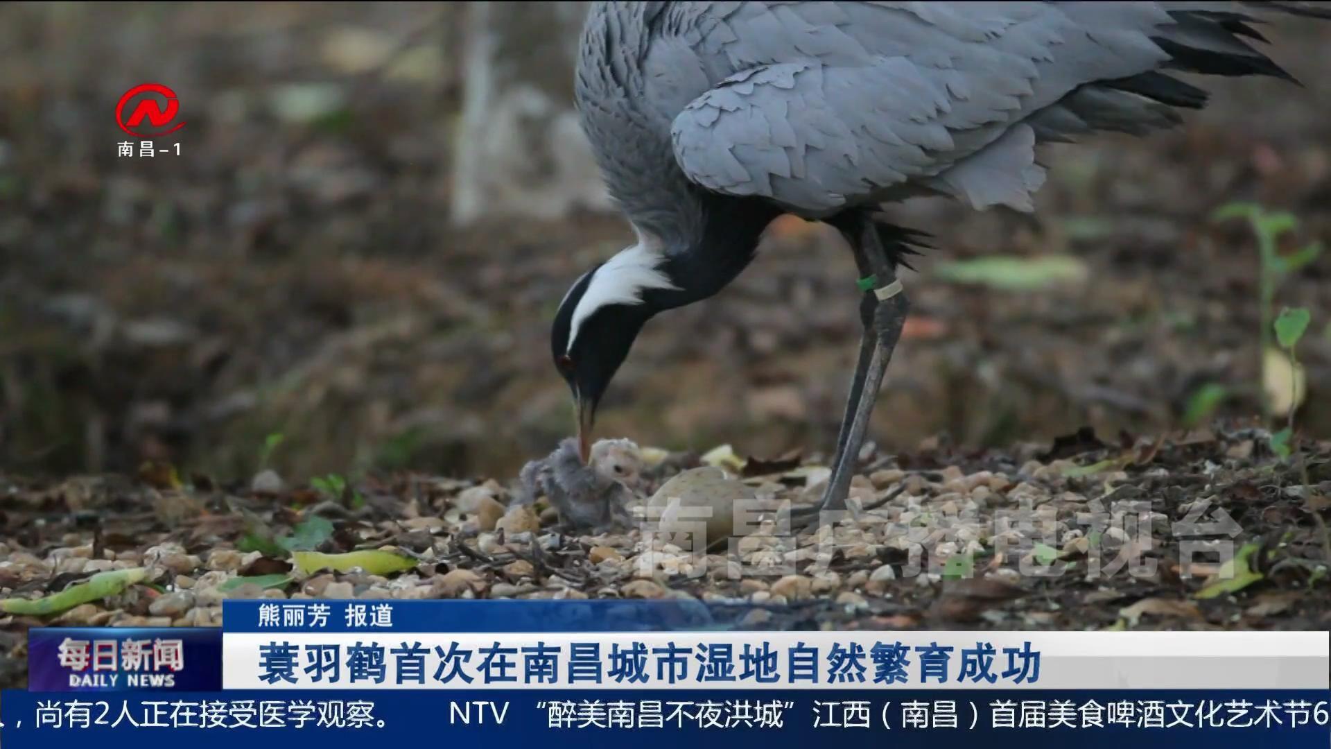 蓑羽鹤首次在南昌城市湿地自然繁育成功