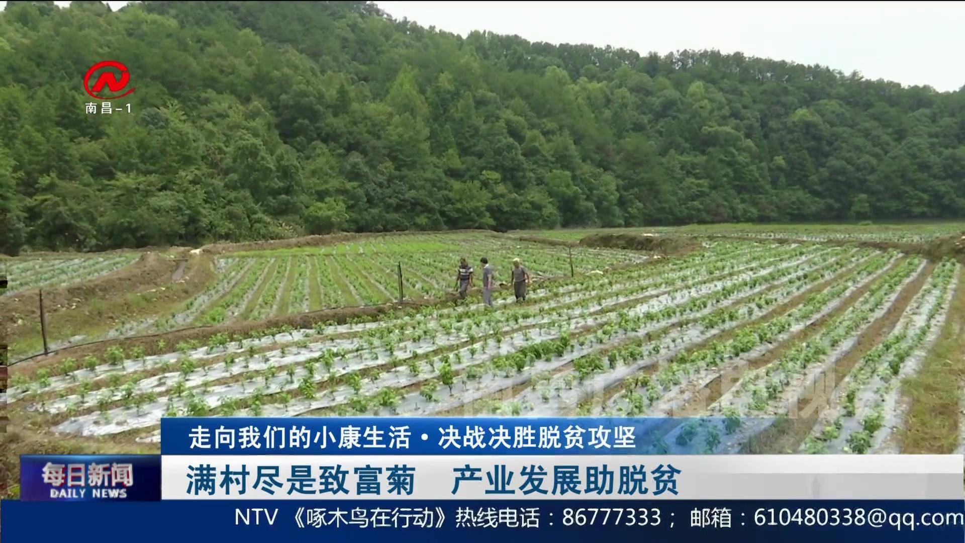 滿村盡是致富菊  產業發展助脫貧