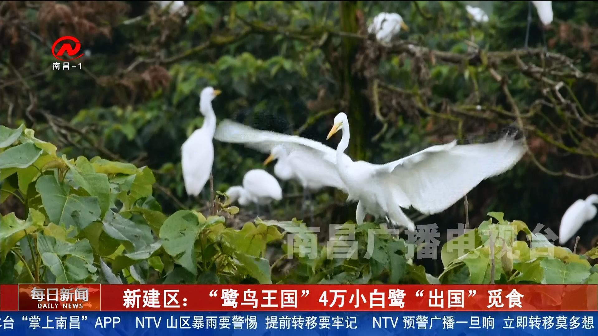 """新建區:""""鷺鳥王國""""4萬小白鷺""""出國""""覓食"""