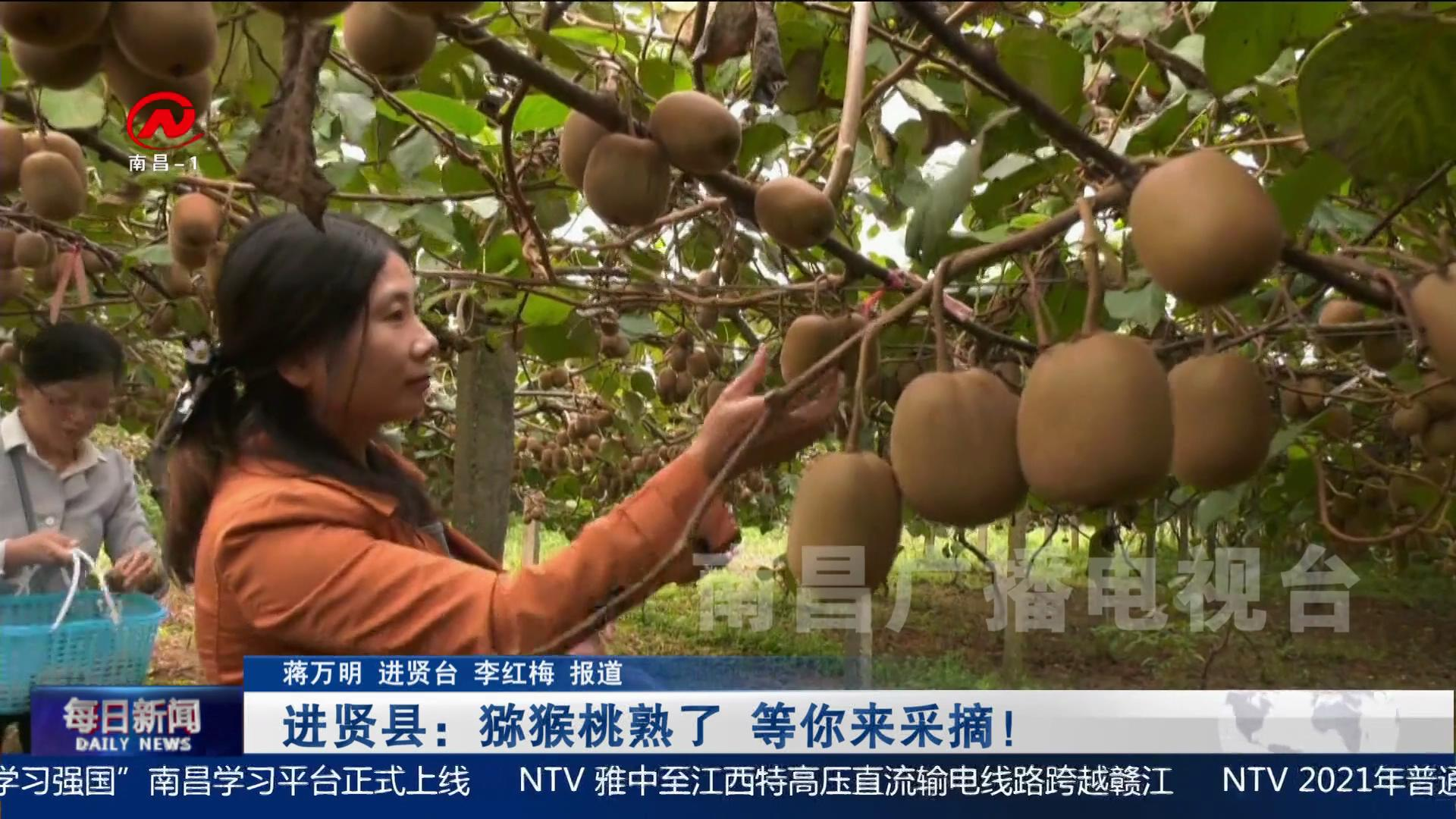 进贤县:猕猴桃熟了 等你来采摘!