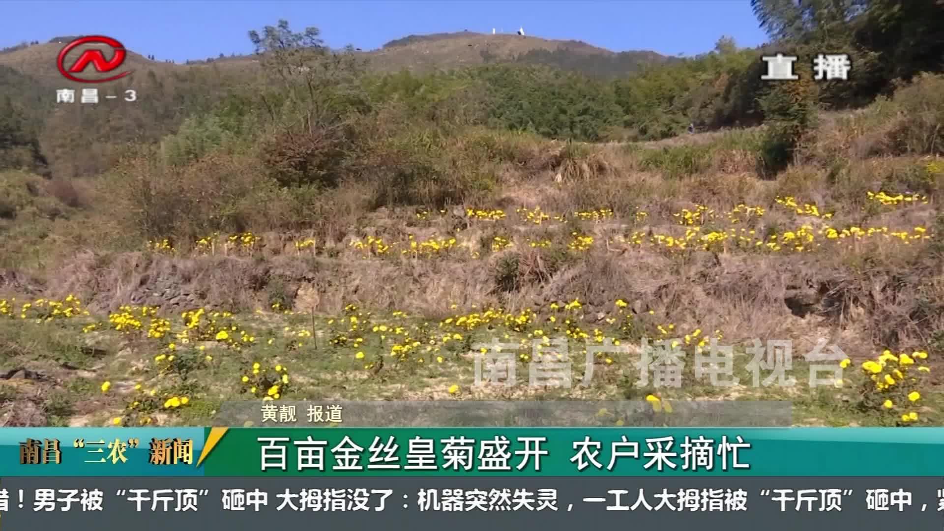 """【南昌""""三农""""新闻】百亩金丝皇菊盛开 农户采摘忙"""