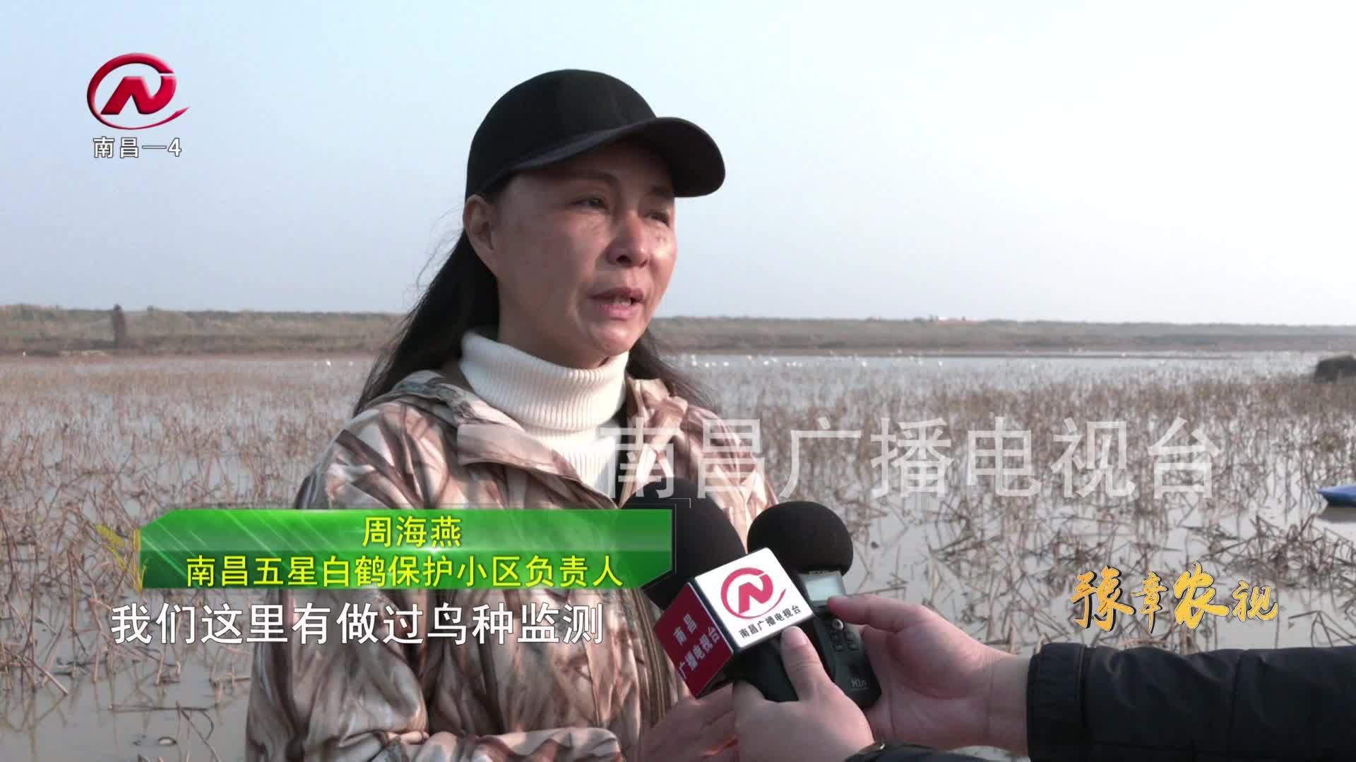 【豫章农视】自在云间白鹤飞 超2800只白鹤飞抵南昌越冬