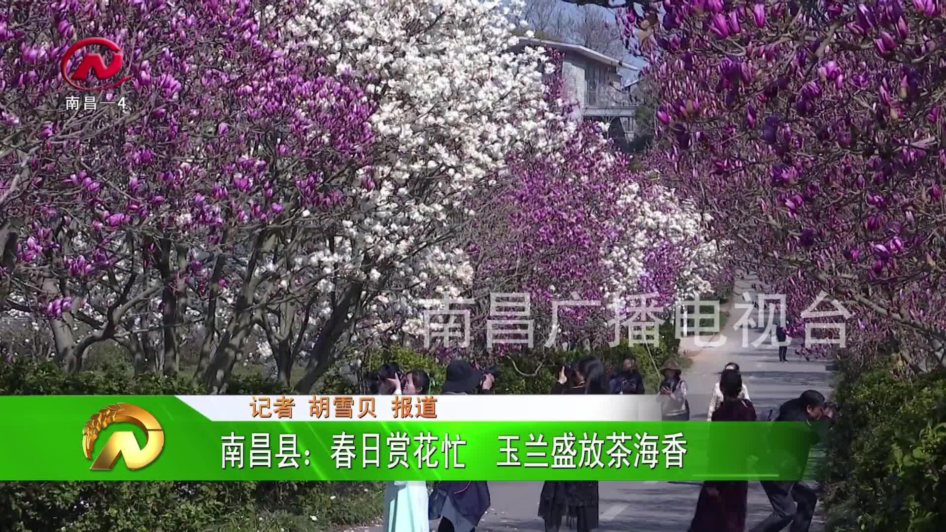 【豫章農視】南昌縣:春日賞花忙  玉蘭盛放茶海香