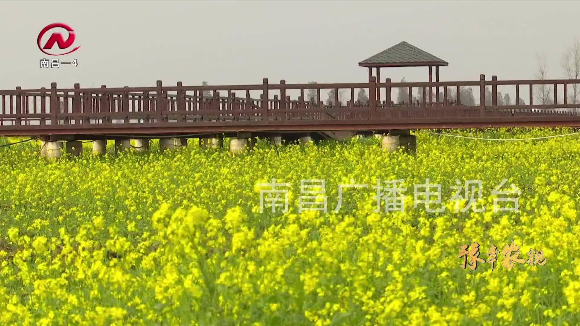 【豫章農視】藍籌頤荷園:千畝油菜花競相綻放 匯成金色花海