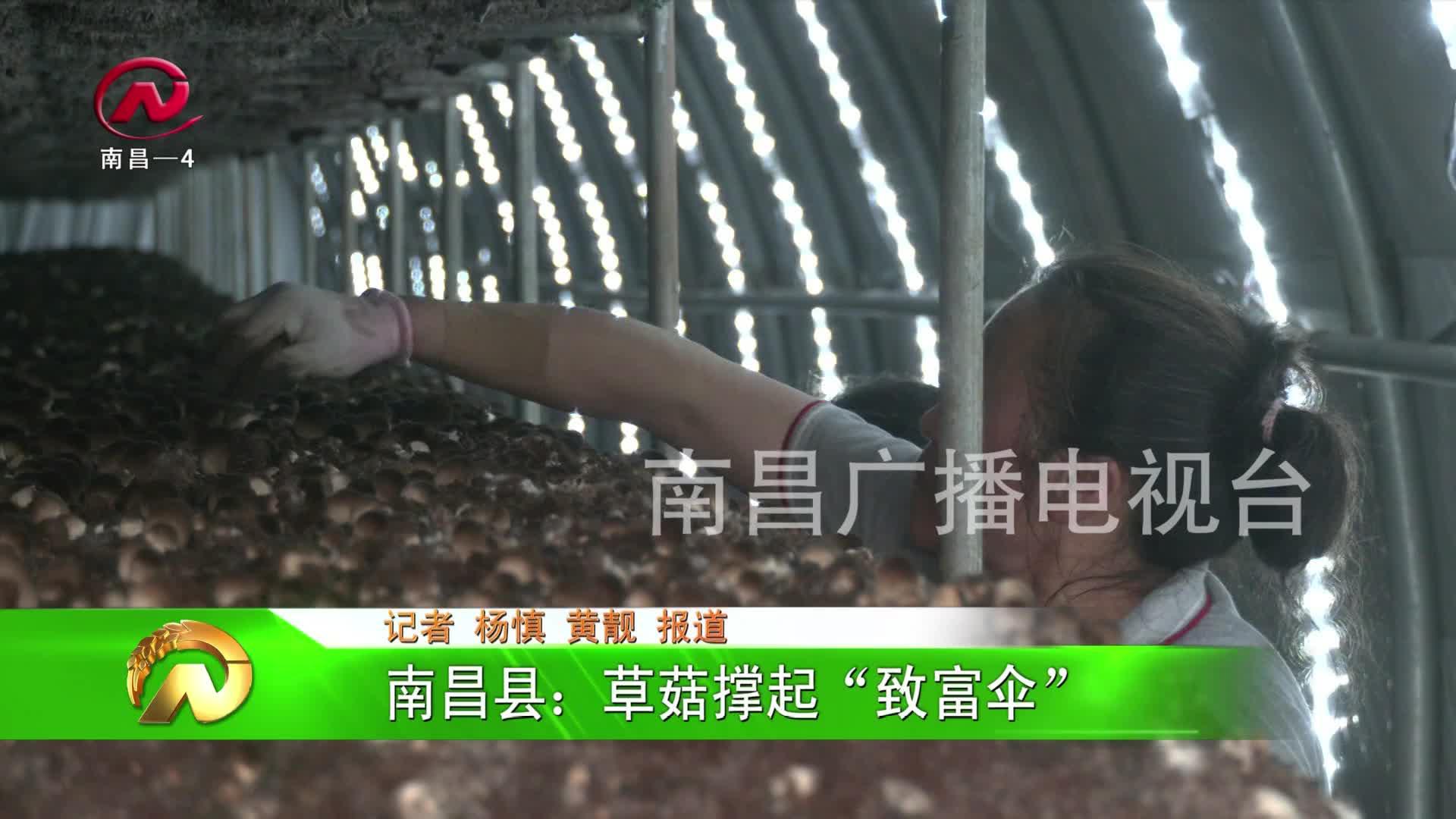 """【豫章農視】南昌縣:草菇撐起""""致富傘"""""""