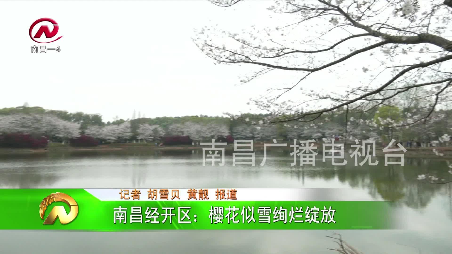 【豫章農視】經開區:櫻花似雪絢爛綻放