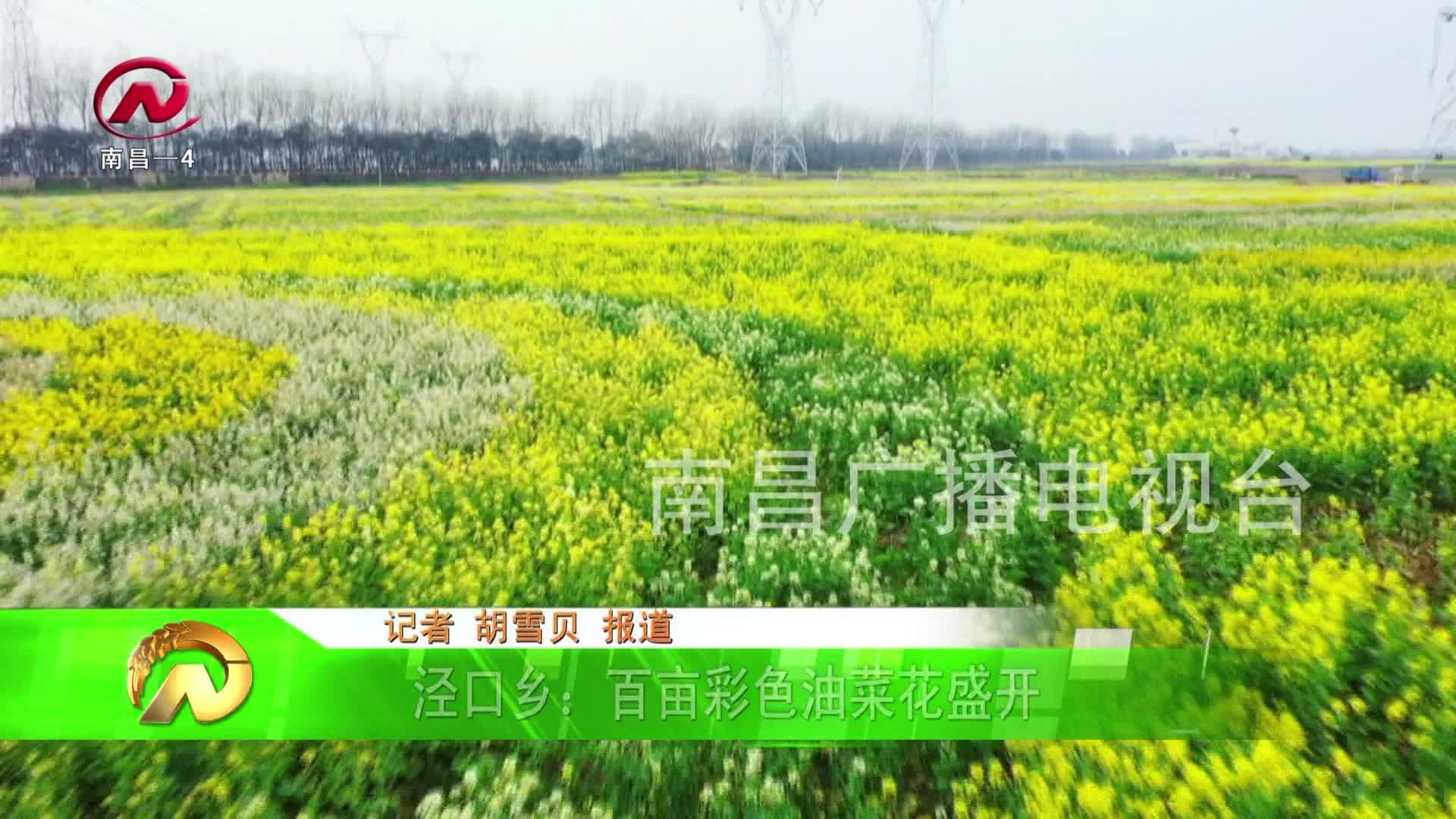 【豫章农视】泾口乡:百亩彩色油菜花盛开