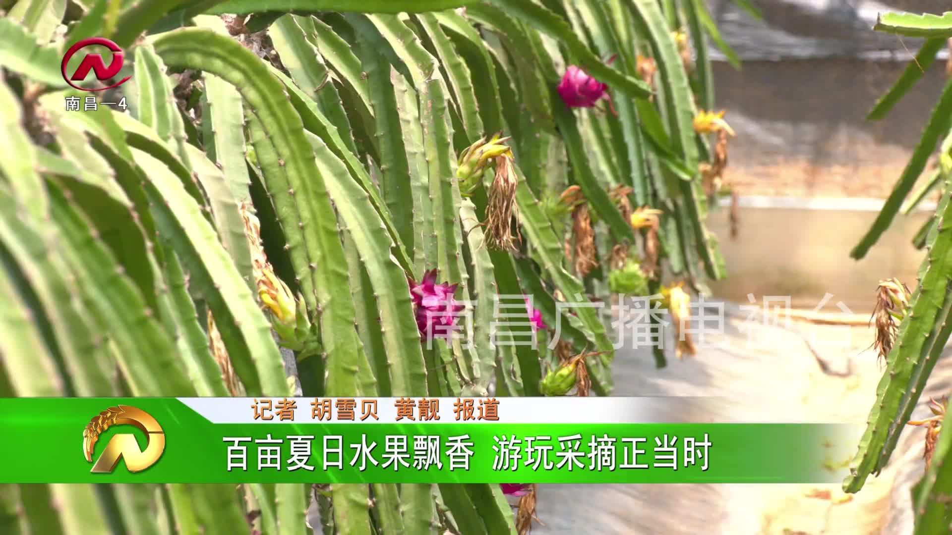 【豫章农视】百亩夏日水果飘香 游玩采摘正当时