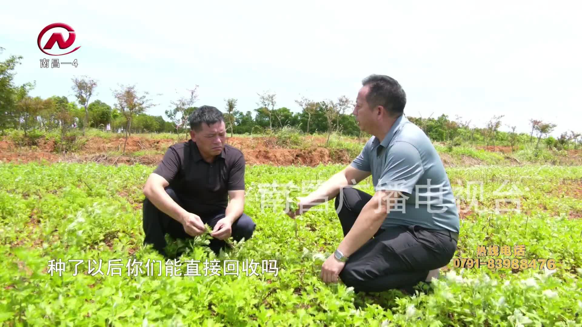 【豫章农视】艾草种植助农增收