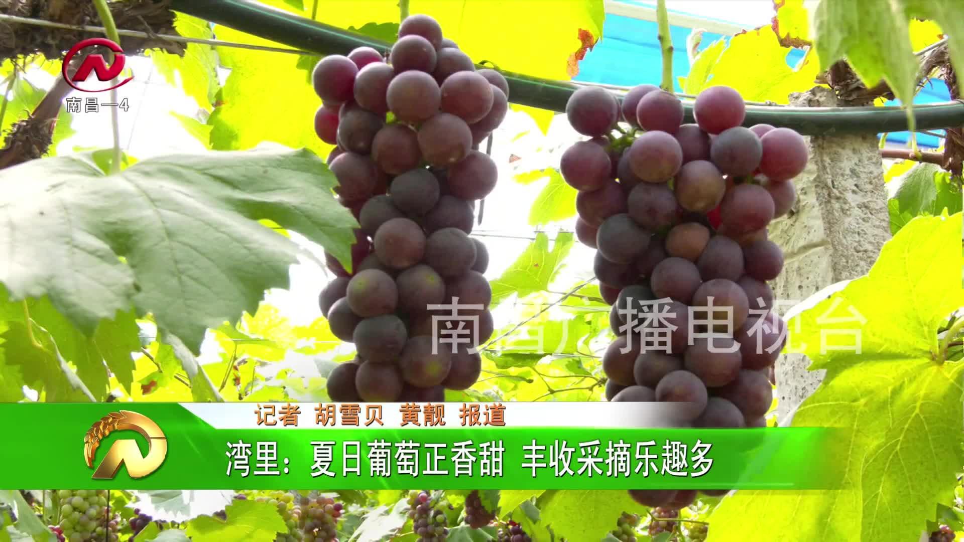 【豫章农视】湾里:夏日葡萄正香甜 丰收采摘乐趣多