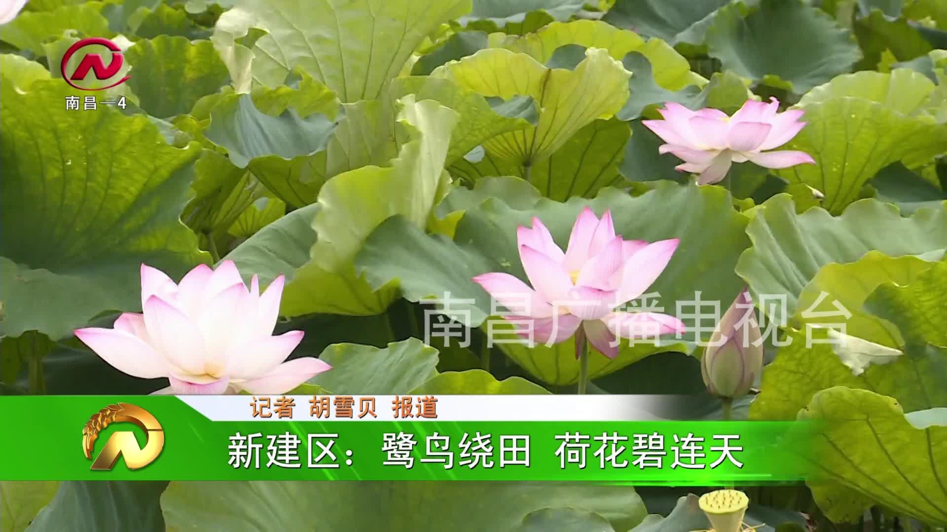 【豫章农视】新建区:鹭鸟绕田 荷花碧连天